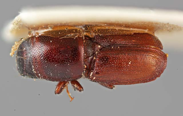 Bark and Ambrosia Beetles of , Scolytus frontalis <span style=\'font ...